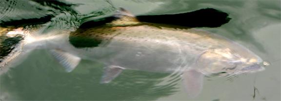 2016 Puget Sound Salmon Season Might Not Happen | SquidPro